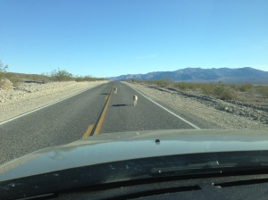 Road Coyotes