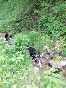 Near the top of the hike to Pocosin MIssion (as in, the part of the trail before you realize you've been hiking downhill for a long while and will soon have to climb back up said incline), Choppy decided she needed to stop hiking. And lie down in the middle of a stream. I can't say I blame her.