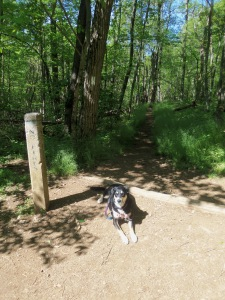 About 50 feet down the trail, where it crosses the Appalachian Trail. Note Choppy already lying down in the trail, having expended so much energy in 50 feet that she needs to lie down.