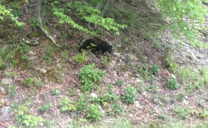 About ten minutes after leaving the campground, I saw a black creature by the side of the road at Shenandoah National Park. It was a bear. I was very happy I saw this bear after I was done camping.