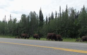 And then, I drove a bit further down the road and came across an entire bison herd. Not pictured: most of said herd.