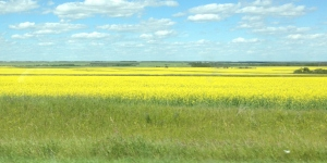 This is the aforementioned rapeseed. More agricultural products should be so pretty.