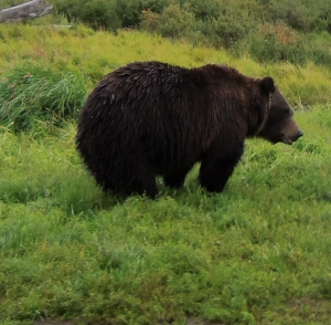 A grizzly! In the wild!