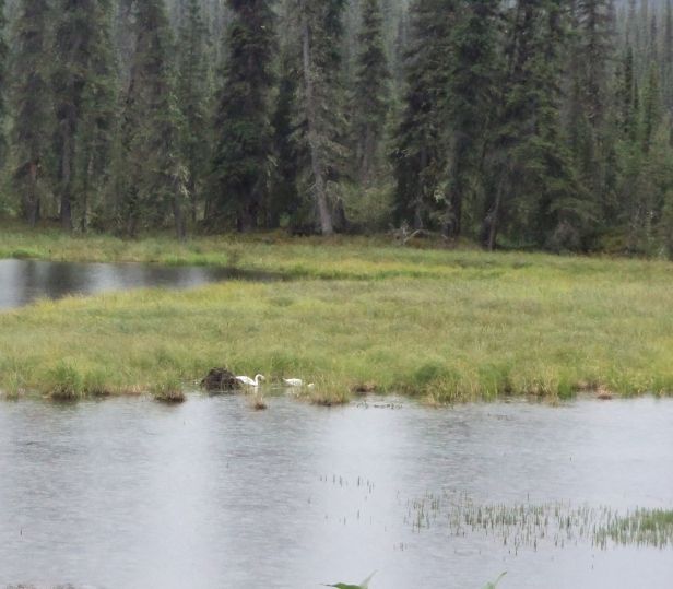 One thing I didn't expect in Alaska: swans. Specifically, wild swans. They were everywhere, and yet I never got tired of seeing them.