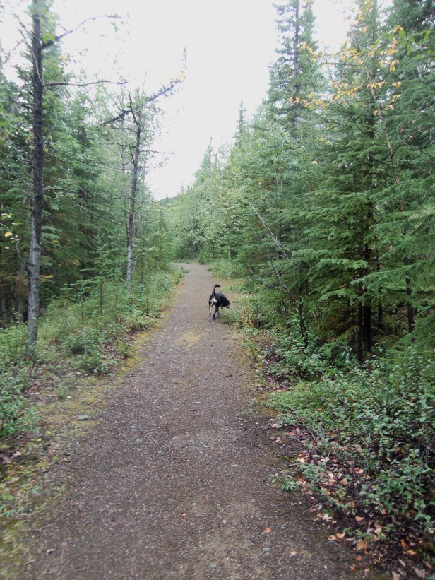 A picture from our time in Alaska - Choppy on a walk. Not pictured: Sarah looking out for bears.