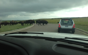 Apparently, the sign was on to something. As we left the rest area, there were bison everywhere.