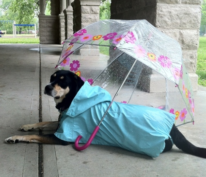 Things Choppy hates: the rain. Things Choppy hates more: having to wear her raincoat.