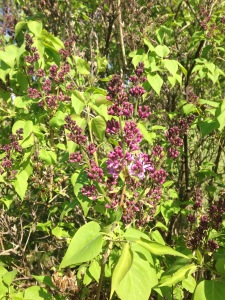 Another sign of spring - it's almost time for the lilacs to bloom (OK, almost time).