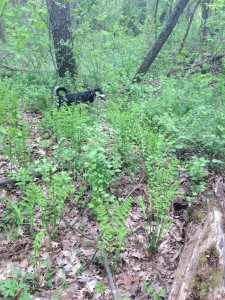 Here is Choppy not helping the morel hunt at all.