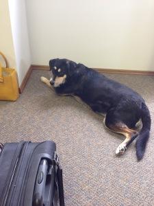 Choppy is far less flexible as an office dog.