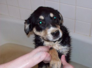Another incident involving rolling led to Choppy's first bath, memorialized here. The more things change...