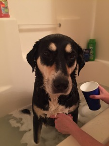 Bath time for Choppy: never a fun proposition.