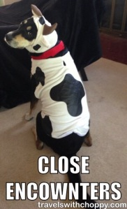 Also known as what happens when you give someone from Wisconsin a dog, a cow costume and a blog.