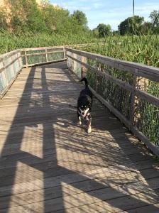 The marsh had raised walking paths through it. Choppy thoroughly enjoyed them.