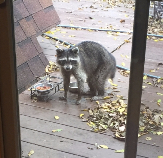 Raccoon Eating Cat Food