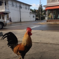 Travel Bits: 4 Facts About the Key West Chickens