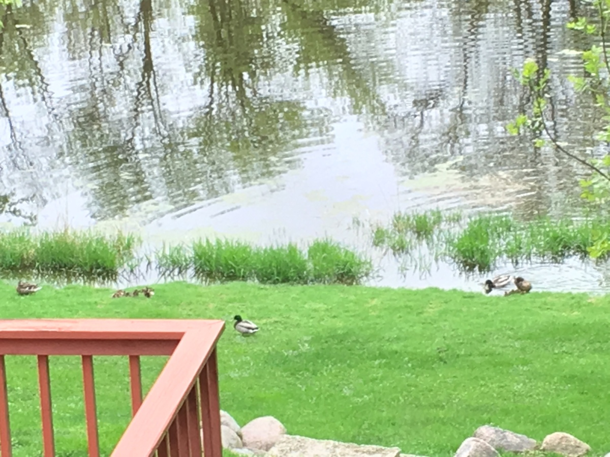 Weekend Wildlife: Ducks Out of the Pond