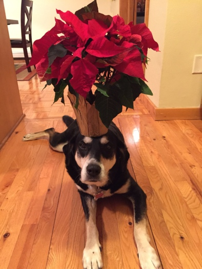 Poinsettia Dog