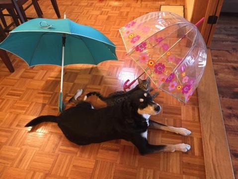 Umbrella Dog and Cat