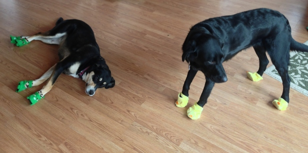 Choppy and Izzy in Booties.JPG