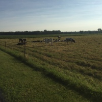 Weekend Wildlife: Morning Cows
